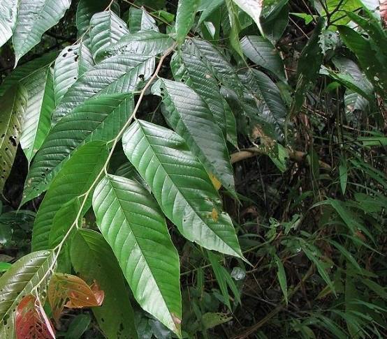 供应非洲臀果木提取物2.5甾醇