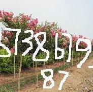 5公分紫薇价格图片