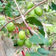 供应用于食用|食用的台南大青枣苗