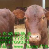 供应三元杂牛牛犊断奶的多少钱