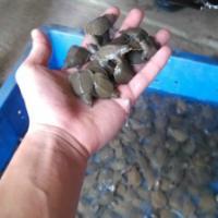 供應用于養殖的四川甲魚苗養殖場純種中華鱉批發價/優質甲魚苗養殖場批發價格是多少錢