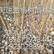 江苏宿迁卖欧美107杨树苗的在哪图片