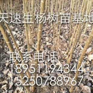 江苏卖欧美107杨树苗的在哪图片