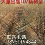 河北最便宜的107杨树苗图片