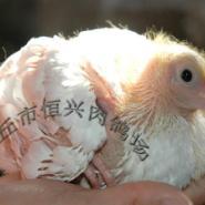 专业养殖优质美国白羽王鸽种鸽鸽子图片