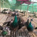 小孔雀-孔雀蛋-孔雀肉图片