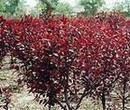 红宝石海棠树苗图片