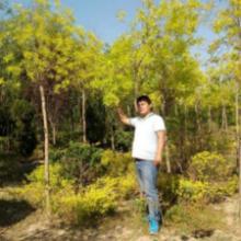 供应红叶榆.彩色白蜡.金叶白蜡.金叶复叶槭.丝绵木.栾树.海棠图片
