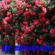 大花蔷薇月季图片
