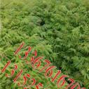 钦州红椿木小苗价格图片