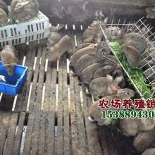 供应适合农村发展的小本项目创业创业投资养兔野兔养殖农场直销批发图片
