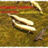 供应用于观赏鱼苗价格 水生花卉 渔业副产品的观赏鱼苗批发出售厂家低价促销