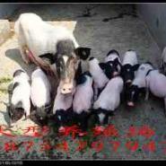 六盘水哪里有香猪巴马香猪养殖场图片