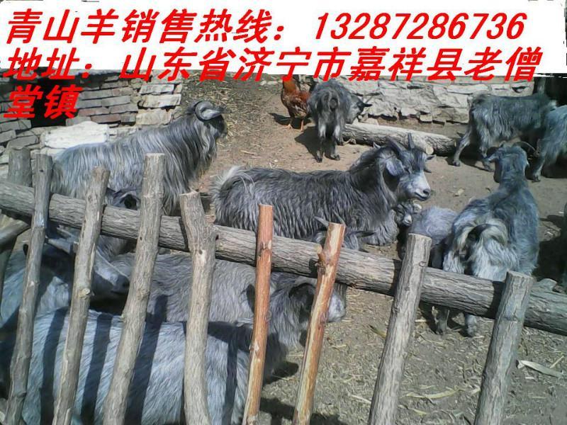 供应小羊价格青山羊种羊价格哪里有青山羊养殖场 青山羊小羊