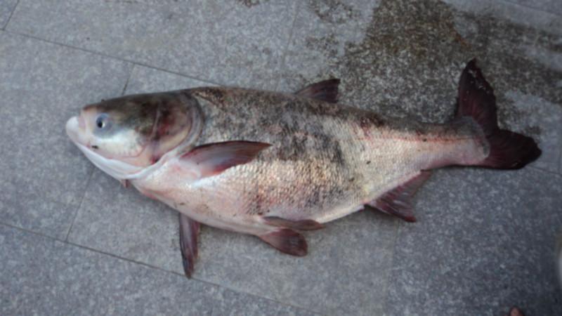 供应广西鳙鱼鱼苗