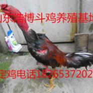 湖南纯种越南斗鸡泰国斗鸡养殖场图片