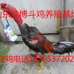 新疆纯种越南斗鸡养殖场斗鸡多少钱图片