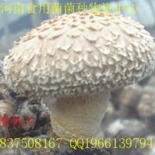 供应豫香王纯一代 首代香菇颗粒母种  原种  一级试管母种  预定原种 春秋香菇品种图片