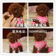 供应贵宾幼犬 广州纯种贵宾犬