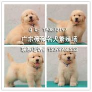 纯种金毛犬幼犬图片