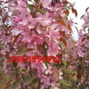 珠穆朗玛海棠基地.紫色王子海棠图片