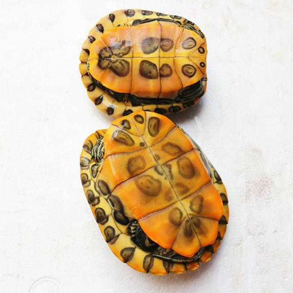 家养宠物巴西龟乌龟应该怎么冬眠啊,只有5厘米大的,求答案