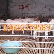 供应白山羊图片,白山羊价格,山羊养殖