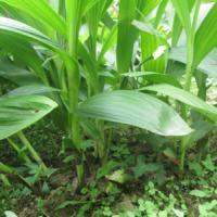 中科白芨种植网湖北白芨种植网