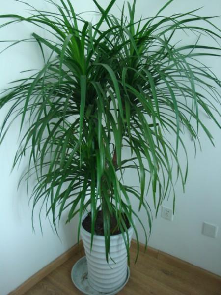 供应龙血树成都植物鲜花租赁哪里最便宜