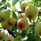 供应白桃原浆 新品鲜榨白桃原浆 果汁用