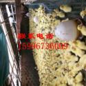 内蒙古鸭苗价格图片