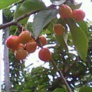 红灯大樱桃图片