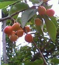 供应季节水果-大樱桃 季节水果大樱桃 大樱桃,大樱桃苗木,大樱桃苗,大樱桃树苗