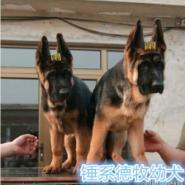 景德镇哪里有卖纯种德国牧羊犬的图片