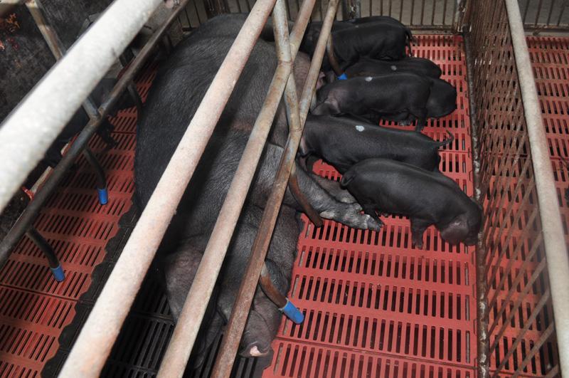 临淄黑礹/&��c�a�9��y�i��a_黑猪肉品牌 淄博黑猪肉 临淄黑猪黑猪肉