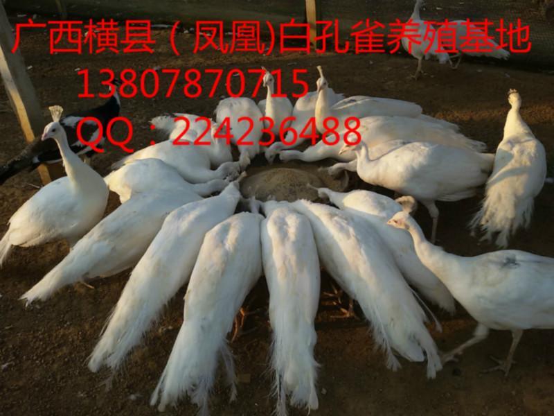 广西孔雀/广西南宁蓝孔雀养殖场||广西孔雀养殖基地