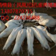 广西桂林市白孔雀养殖场图片