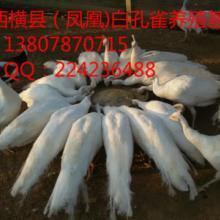 广西孔雀/广西南宁蓝孔雀养殖场||广西孔雀养殖基地批发