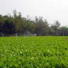供应修水土特产芥菜干,500g袋装优质芥菜干,厂家批发
