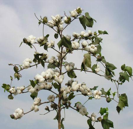 供应贵州天然棉花-贵阳新疆棉絮厂