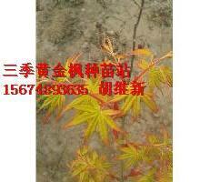 供应用于红枫黄枫吉林的红枫黄枫吉林金杆黄枫俄罗斯金杆枫