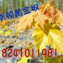 普林斯顿黄金枫挪威槭黄金枫图片