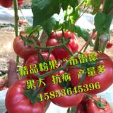 高产 抗病良种 粉果番茄种子种苗欧特娇粉果番茄