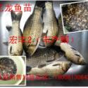 罗非鱼丰产鲫鱼苗水花商品成鱼图片
