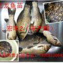 巴中罗非鱼丰产鲫鱼草鱼水花图片
