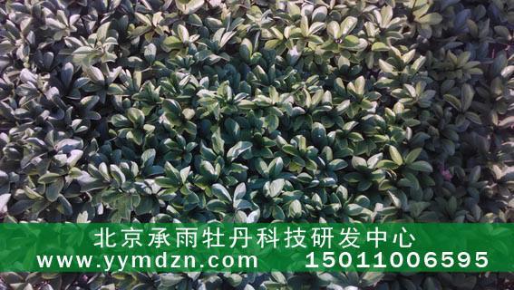 v牡丹用于凤丹牡丹的油用种苗苗种植技术指导合加银丝布图片