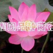 水生花卉种植价格
