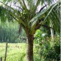 海南哪里有椰子树出售图片