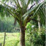 供应海南哪里有椰子树包送包送种、、、